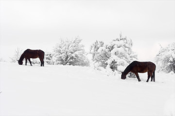 horses grazing in winter, search for grass under the snow