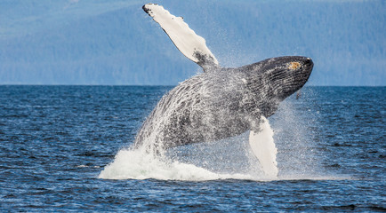 Jumping humpback whale. Chatham Strait area. Alaska. USA. An excellent illustration.