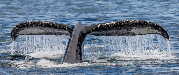 Tail humpback whale above the water surface closeup. Chatham Strait area. Alaska. USA. An excellent illustration.