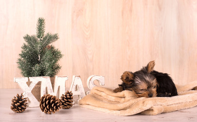 Christmas concept with an adorable Yorkshire Terrier