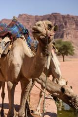 Camel drinking in Wadi Rum, Jordan