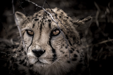 Cheetah in the dark