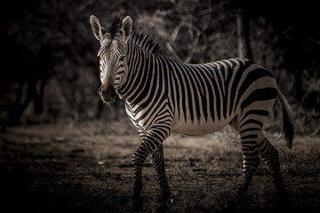 Zebra in the dark