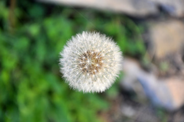 light dandelion