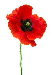 Wall Murals Poppy poppy. red poppy isolated on white background.red poppy. beautif