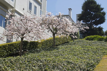 Cherry blossom, San Francisco