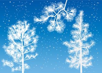 winter cedar trees on blue background