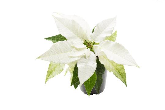 Weißer Weihnachtsstern auf weißem Hintergrund