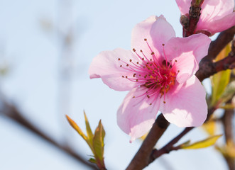 Beautiful peach blossom backlit by sun in early spring