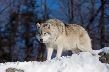 A lone Arctic wolf (Canis lupus arctos) on a rock cliff in winter in Canada