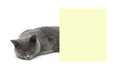 Young gray cat with yellow eyes lying about banner