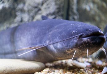 Blue catfish in aquarium near glass