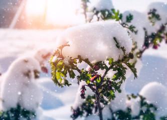 Fresh snow on a branch of a bush