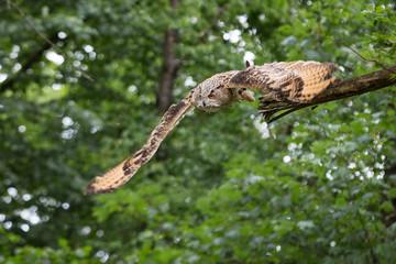 Fototapete - sibirian eagle owl