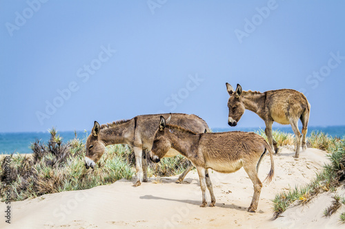 """""""Mannar donkey in..."""