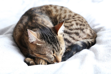 Beautiful cat on the grey plaid