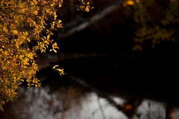 The small yellow leaves of a tree on a languorous background