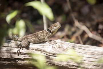 Madagascan collared iguana, Oplurus Cuvier, is abundant in the reserve Tsingy Ankarana, Madagascar