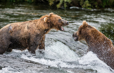 Two brown bears fighting for a place on the river for fishing. USA. Alaska. Katmai National Park. An excellent illustration.