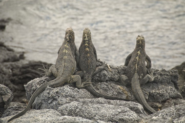 Marine Iguanas on the Alert for Hawks