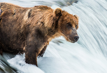 Brown bear catches a salmon in the river. USA. Alaska. Katmai National Park. An excellent illustration.