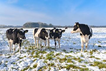 Fototapete - Gruppe von Holstein-Friesian Rindern auf einer verschneiten Wiese