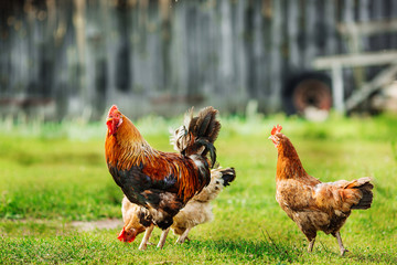 Rooster and chickens on the grass. Rustic  picture