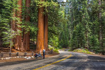 Man taking a picture of sequoia tree. Comparing the size of a man and a tree. Sequoia National Park, California, USA.