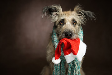 Shaggy amusing beautiful dog with big ears wearing a scarf on a dark background, in the jaws of a red Christmas hat