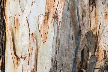 Photo sur Toile Les Textures Texture of eucalyptus bark