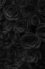 roses  black background. Greeting card with roses