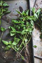 Fresh basil with roots