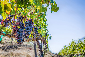 Grapes in vineyard with blue sky
