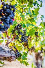 Black grapes in vineyard
