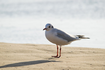 Seagull standing on sand beach in front of the Mediterranean sea