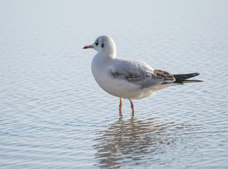 Seagull standing in the sea