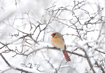 Northern Cardinal female perched on a branch in winter in Canada