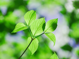 new growing green leaf in spring day