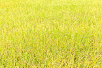 Golden rice paddy in field farm, ready to harvesting.