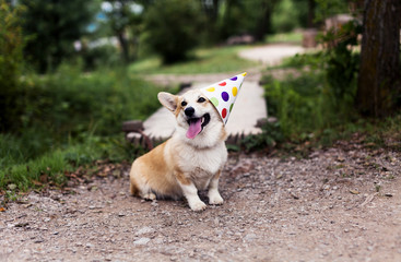 Smiling corgi dog in a fancy cap, celebrating Birthday