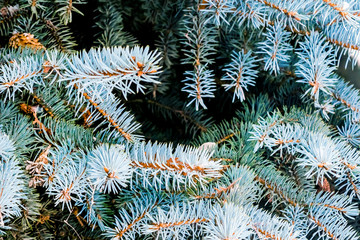 Branch of blue spruce in the snow, close-up