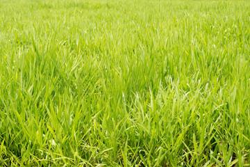 Background of green Pasture Ryegrass field