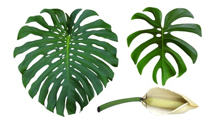 Monstera large jungle leaves with flower, isolated on white background, common name Swiss Cheese or Hurricane plant