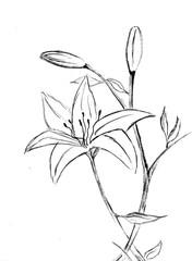 Lilie - Zeichnung