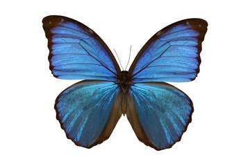 Butterfly(Morpho amathonte) isolated on white background