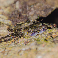Purple Swift-footed Shore Crab in a rock crevice