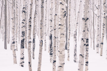 Beautiful birch park in winter in frost covered with snow all Wall mural