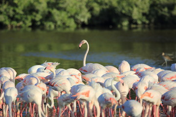 Greater Flamingo (Phoenicopterus roseus) in Dubai, United Arab Emirates
