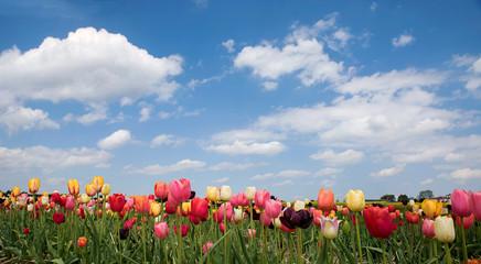 Fototapete - Tulpenfeld zum selber schneiden, blauer Himmel mit Wolken