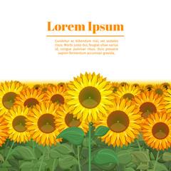 Wall Mural - Sunflower field. Row of sunflowers vector illustration